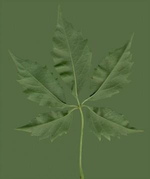 树叶-绿叶-ID:4040808