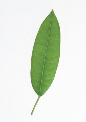 树叶-绿叶-ID:4041567