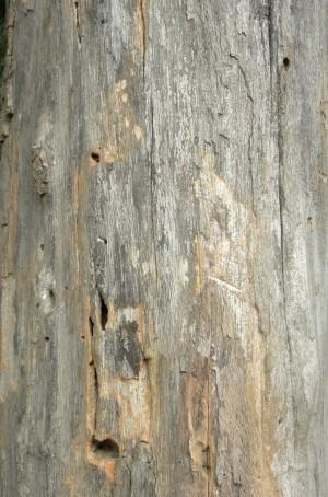 树干-剥去树皮-ID:4041572