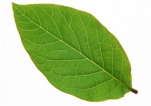 树叶-绿叶-ID:4041622