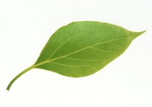 树叶-绿叶-ID:4041641